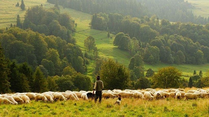 pastir i stado ovaca