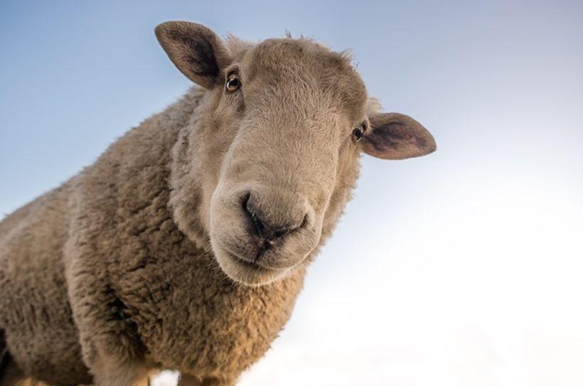 ovca sa zagonetnim pogledom