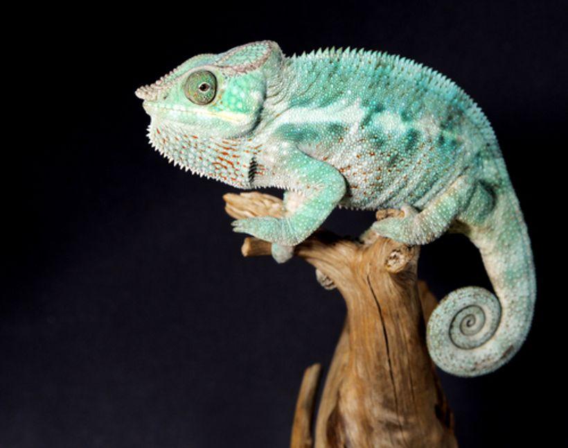 Priručnik za mlade kameleone
