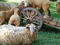 Od ovčje vune na cesti do posla