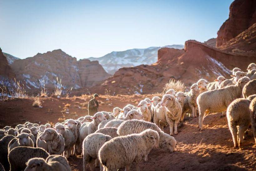 Imaju 600 ovaca, a pastira ni za lijek